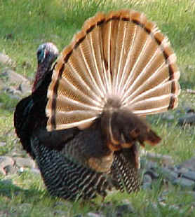 Turkey with fanned tail. Photo by Kim A. Cabrera